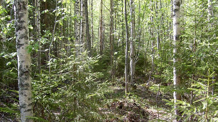 Maastokuvaus nuorta metsää 135